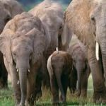Human-wildlife conflict escalates as elephants invade farms in Naromoru, Nanyuki